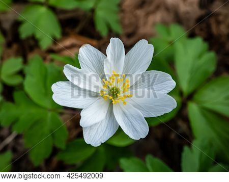 Macro Shot Of Single, White Flower Wood Anemone (anemone Nemorosa) Blooming In Spring In Forest With