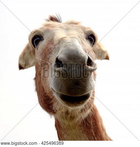 Funny Donkey On White Background Farm Mammals Animal