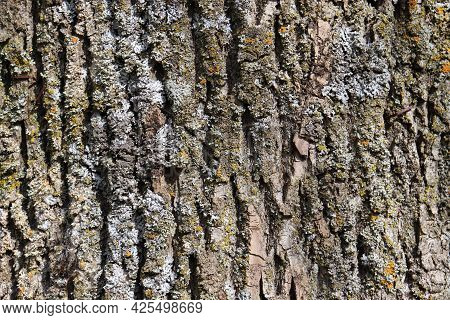 Natural Aged Tree Bark Background With Rich Texture In Gray, Beige And Earthy Colors With Yellow, Gr