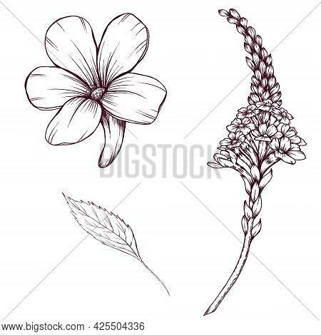Vervain Herb Sketch, Flowers And Leaves, Alternative Medicine, Medical Herb Illustration, Summer Bot