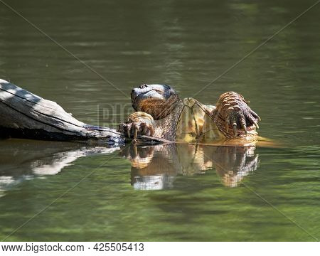 Invasive snapping turtle in a pond in Boise, Idaho