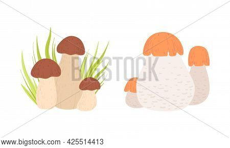 Wild Forest Edible Mushrooms Set, Boletus, Cep Cartoon Vector Illustration