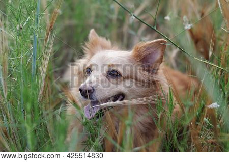 A Beautiful Little Red Dog In The Tall Green Grass. A Mixed Breed Pet In A Field Of Wild Grasses. Pe