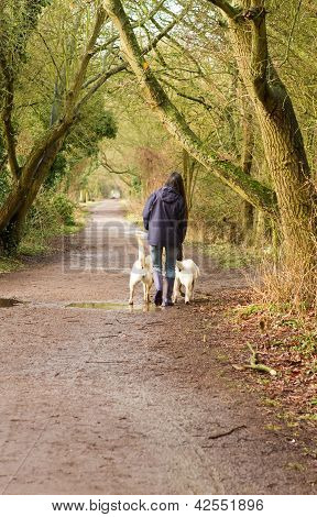 Female Walking Two Labradoes Along A Country Path