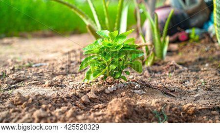 Withania Somnifera Or Ashwagandha Plant. Medicinal Plant Of Withania Somnifera With Attractive Green