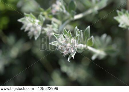 Hairy Canary Clover - Latin Name - Dorycnium Hirsutum