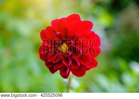 Red Astra Flowers In A Country Garden