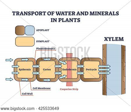 Transport Of Water And Minerals In Plant With Anatomical Cell Outline Diagram. Educational Labeled S