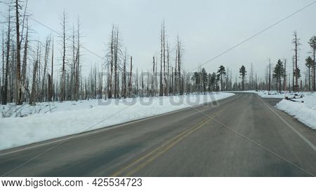 Forest Fire Aftermath, Burnt Charred Trees In Usa. Black Dry Burned Scorched Coniferous Woodland Aft
