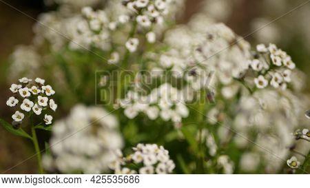 Tender White Flowers In Garden, California Usa. Springtime Meadow Romantic Atmosphere, Morning Delic