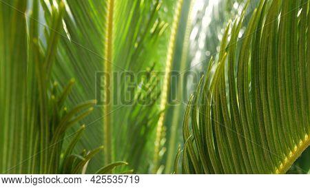 Cycad Fern Leaves In Forest, California Usa. Green Fresh Juicy Natural Botanical Leafage. Encephalar
