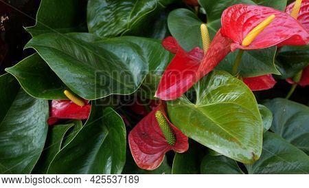 Red Calla Lily Flower, Dark Green Leaves. Elegant Maroon Floral Blossom. Exotic Tropical Jungle Rain