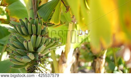 Green Yellow Banana Tree Fruit Bunch. Exotic Tropical Sunny Summer Atmosphere. Fresh Juicy Leaves In