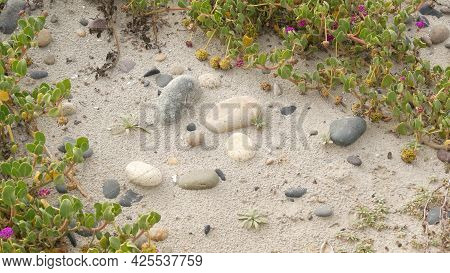 Creeper Plant On Pacific Ocean Sandy Beach, California Coast, Usa. Sand, Tiny Flowers, Stones And Gr