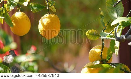 Citrus Lemon Yellow Fruit Tree, California Usa. Spring Garden, American Local Agricultural Farm Plan