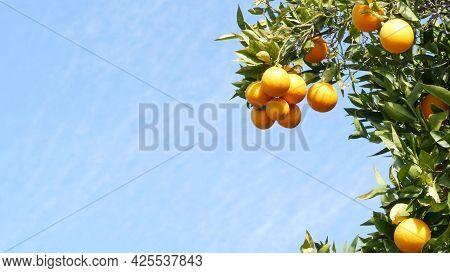 Citrus Orange Fruit On Tree, California Usa. Spring Garden, American Local Agricultural Farm Plantat
