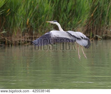 Big Gray Heron During Takeoff Over The Water
