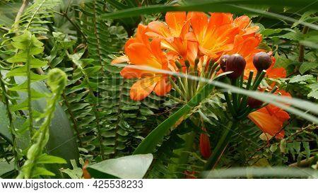 Natal Bush Kafir Lily Flower, California, Usa. Clivia Miniata Orange Flamboyant Exotic Fiery Vibrant