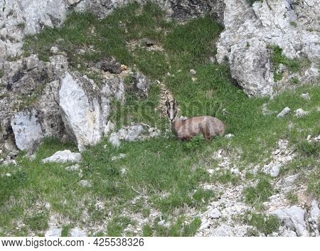 Young Chamois In Mountain European Alps In Summer