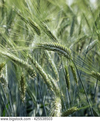 Many Green Ears Of Unripe Wheat In The Cultivated Field