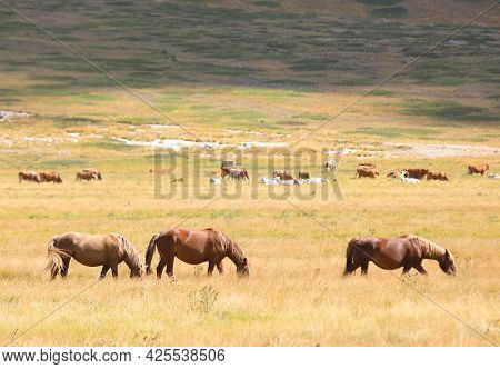 Group Of Horses In The Wild Grazing And Grazing Undisturbed In The Boundless Prairie In Summer