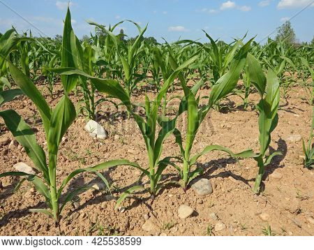 Small Corn Plants Still Low And Without Cobs With Green Leaves In The Field At The Beginning Of Summ