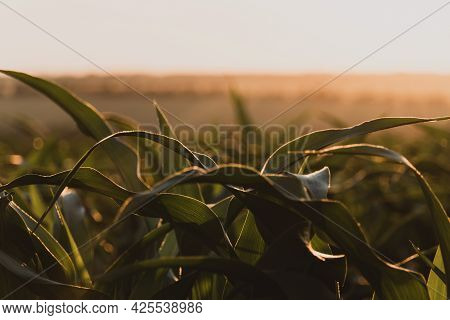 Sprouts Of Green Young Corn Against The Setting Sun. Ripening Cornfield