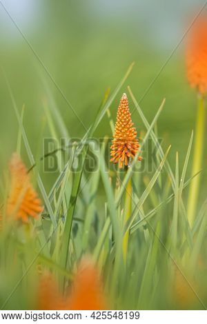 Close up shot of Red hot poker flower in the garden