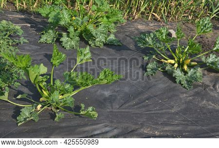 A Lot Of Pumpkin And Watermelon Plants Grow In The Vegetable Garden, Which Have A Black Foil Between
