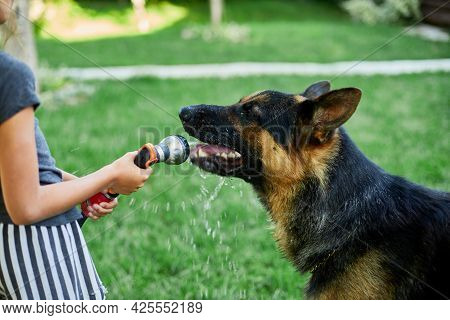 Little Girl Spraying Some Water From Hose For Her Dog German Shepherd On A Hot Summer Day