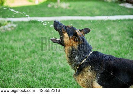 Playful Dog German Shepherd Tries To Catch Water From Garden Hose