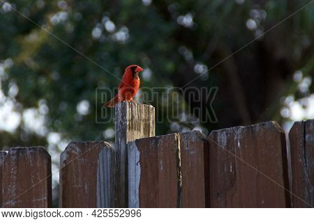 A Beautiful Red Cardinal On Old Fence, Side Lit By The Sunshine Of Late Afternoon.