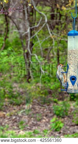 A Red Bellied Woodpecker Is A Medium Sized Black And White Barred Woodpecker With A Pale Belly. Male