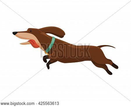 Dog Dachshund. Cute Funny Character Portrait. Short-legged Pet With Long Body Running. Adorable Cart