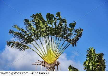 Palm Grove In Fort De France, Martinique Island In The Caribbean Sea, Lesser Antilles, West Indies