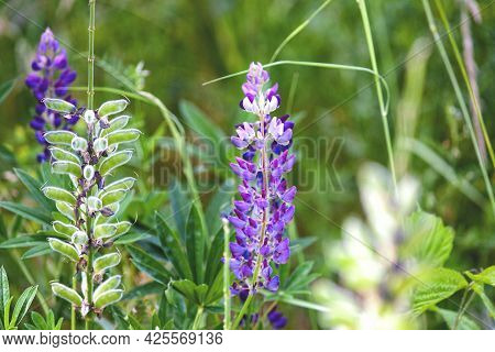 Lupine With Shallow Depth Of Field. Dioecious Plant