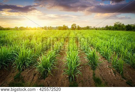 Agriculture, Sugarcane Field At Sunset. Sugarcane Is A Grass Of Poaceae Family. It Taste Sweet And G
