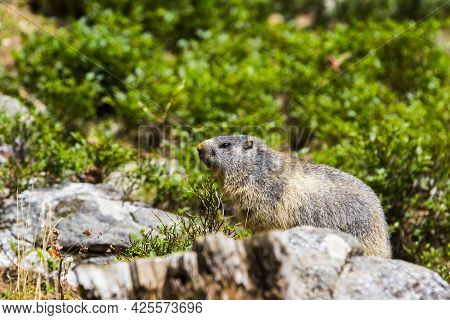 Marmot, Groundhod (marmota Marmota) In Cerdagne, Pyrenees, France