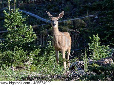 Wildlife Of Colorado. Wild Deer In Their Natural Environment In Colorado.. Mule Deer Doe