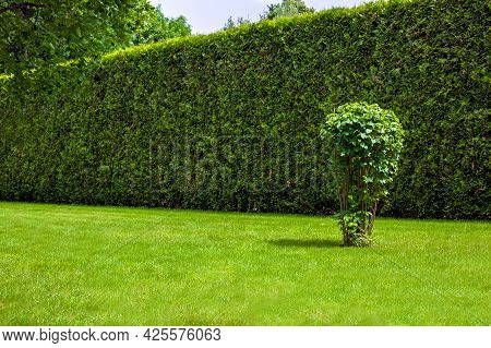 High Hedge Of Evergreen Thuja In Front Of A Green Lawn With A Deciduous Bush Landscape On A Sunny Su