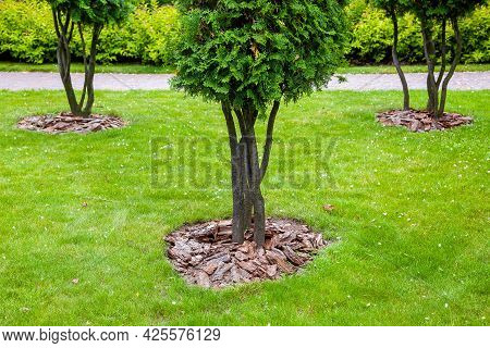 Mulching From The Bark Of Trees Around The Thuja Trees On Green Lawn, Landscaping Of Growth Backyard