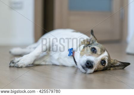 Upset Ill Sick Dog Is Lying On The Floor With A Sad Look, Suffering From Pain, Disease. Big Lonely B