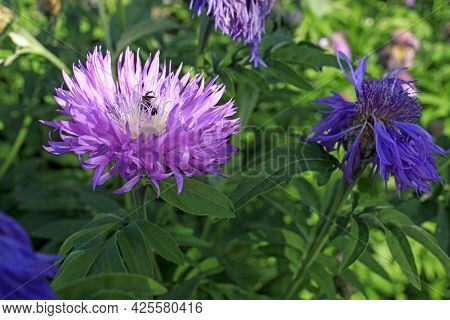 Bumblebee On Brown Knapweed (centaurea Jacea) Collecting Nectar And Pollen. Horisontal Frame