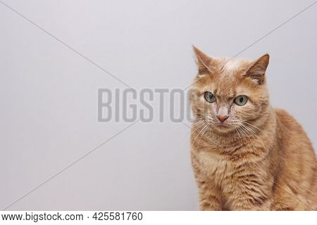 A Sad Red-haired Cat Is Sitting With A Furrowed Brow. Red-haired Cat Is Sitting With A Furrowed Brow