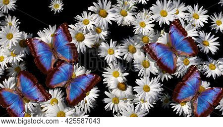 Colorful Blue Morpho Butterflies On White Daisies