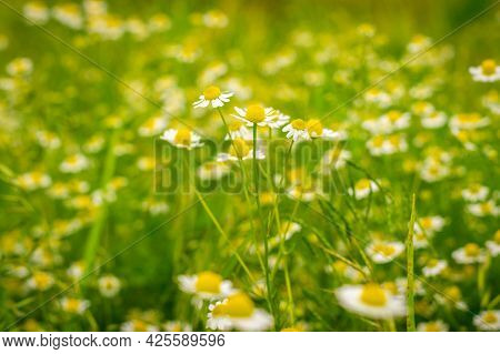 Meadow Of Field Chamomiles In Summer In Sunny Weather. Medicinal Chamomile Close-up.