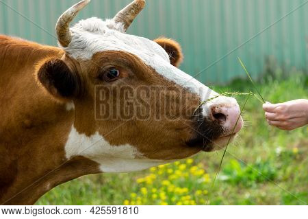 The Cow Sniffs The Grass From The Girl's Hand. A Woman's Hand Holds Out The Grass To The Cow. Cow Mu