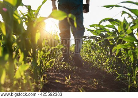 Low Angle View At Farmer Feet In Rubber Boots Walking Along Maize Stalks