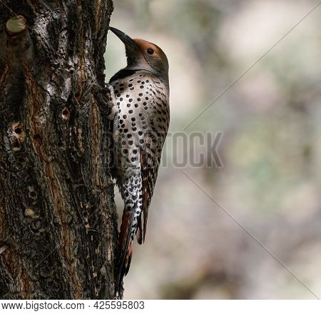 A Northern Flicker Sitting On The Side Of A Tree Getting Ready To Do What Comes Natural. Version1