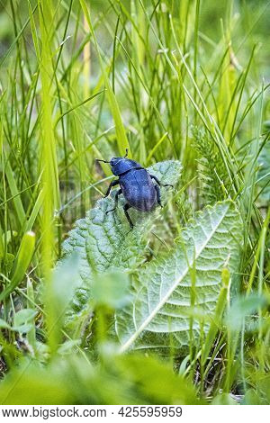 Female Of European Stag Beetle In The Grass. Natural Scene.